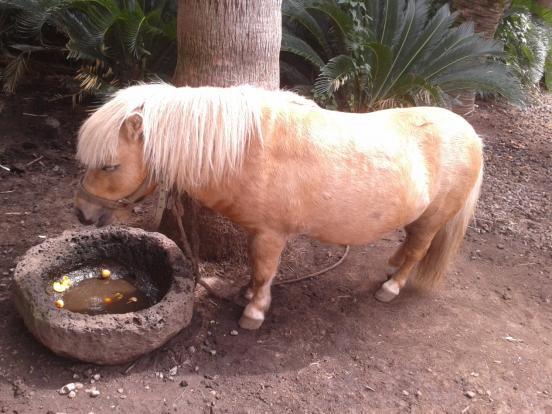韩国小矮马